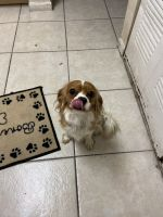 Cavalier King Charles Spaniel Puppies for sale in North Miami Beach, FL 33169, USA. price: NA