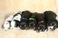Cavalier King Charles Spaniel Puppies for sale in Homeland, CA, USA. price: NA