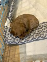 Cavalier King Charles Spaniel Puppies for sale in West Creek, Eagleswood, NJ 08092, USA. price: NA