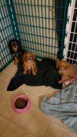 Cavalier King Charles Spaniel Puppies Photos