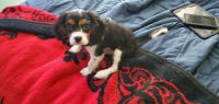 Cavalier King Charles Spaniel Puppies for sale in Aurora, CO, USA. price: NA