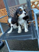Cavalier King Charles Spaniel Puppies for sale in Beverly Hills, CA 90210, USA. price: NA