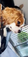 Cavalier King Charles Spaniel Puppies for sale in Crest Hill, IL, USA. price: NA