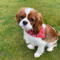 Cavalier King Charles Spaniel Puppies for sale in Los Angeles, CA 90001, USA. price: NA
