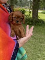 Cavalier King Charles Spaniel Puppies for sale in FL-8, Jacksonville, FL, USA. price: NA