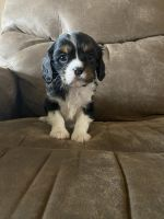 Cavalier King Charles Spaniel Puppies for sale in Mt Pleasant, IA 52641, USA. price: NA