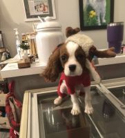 Cavalier King Charles Spaniel Puppies for sale in South Haven, MI 49090, USA. price: NA