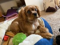 Cavalier King Charles Spaniel Puppies for sale in Lindenwold, NJ, USA. price: NA