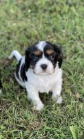 Cavalier King Charles Spaniel Puppies for sale in Fayetteville, TN 37334, USA. price: NA