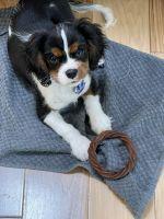 Cavalier King Charles Spaniel Puppies for sale in Sagaponack, NY 11962, USA. price: NA