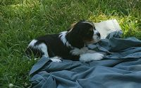 Cavalier King Charles Spaniel Puppies for sale in Cabot, AR, USA. price: NA