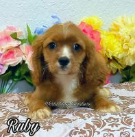 Cavalier King Charles Spaniel Puppies for sale in Miami, FL, USA. price: NA