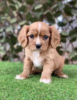 Cavalier King Charles Spaniel Puppies for sale in Miami, FL 33196, USA. price: NA