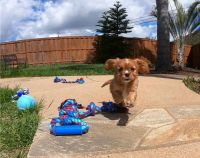 Cavalier King Charles Spaniel Puppies for sale in Minneapolis, MN, USA. price: NA