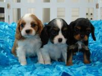 Cavalier King Charles Spaniel Puppies for sale in Knoxville, TN, USA. price: NA