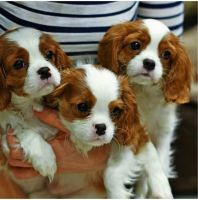 Cavalier King Charles Spaniel Puppies for sale in 105 Coffee Rd, Harrisburg, IL 62946, USA. price: NA