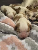 Cavalier King Charles Spaniel Puppies for sale in St Charles, MO, USA. price: NA