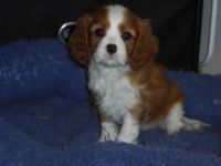 Cavalier King Charles Spaniel Puppies for sale in The Villages, FL 32163, USA. price: NA