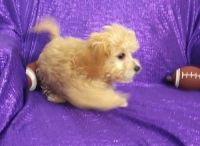 Cavapoo Puppies for sale in Atmore, AL 36502, USA. price: NA