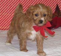 Cavapoo Puppies for sale in North Beach, MD, USA. price: NA