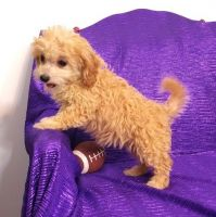 Cavapoo Puppies for sale in Bangor, PA 18013, USA. price: NA