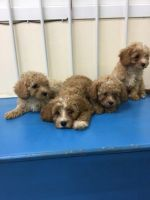 Cavapoo Puppies for sale in Ohio Ave, Long Beach, NY 11561, USA. price: NA
