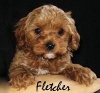 Cavapoo Puppies for sale in Nashville, TN, USA. price: NA