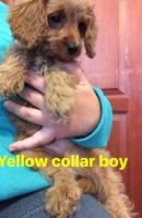 Cavapoo Puppies for sale in Pasadena, CA, USA. price: NA
