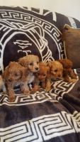 Cavapoo Puppies for sale in Central Park West, New York, NY, USA. price: NA
