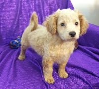 Cavapoo Puppies for sale in Tulsa, OK, USA. price: NA