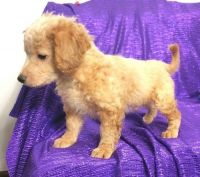 Cavapoo Puppies for sale in Milwaukee, WI, USA. price: NA