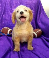 Cavapoo Puppies for sale in Clarkedale, AR, USA. price: NA