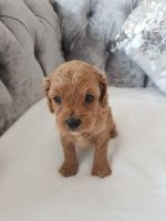 Cavapoo Puppies for sale in Cambridge, MA, USA. price: NA