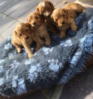 Cavapoo Puppies for sale in Springfield, IL, USA. price: NA