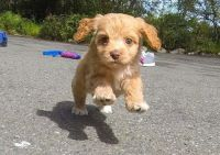 Cavapoo Puppies for sale in Glasston, ND 58236, USA. price: NA