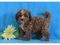 Cavapoo Puppies for sale in Santa Rosa, CA, USA. price: NA