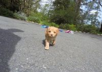 Cavapoo Puppies for sale in Bowman, SC 29018, USA. price: NA