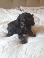 Cavapoo Puppies for sale in Los Angeles, CA, USA. price: NA