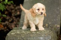 Cavapoo Puppies for sale in Wilmar, AR 71675, USA. price: NA