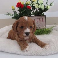 Cavapoo Puppies for sale in Canton, OH, USA. price: NA