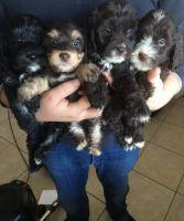 Cavapoo Puppies for sale in Ashtabula, OH 44004, USA. price: NA