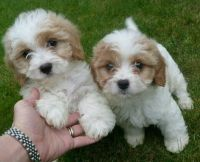 Cavapoo Puppies for sale in TX-249, Houston, TX, USA. price: NA