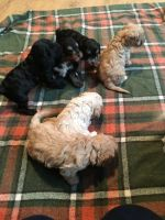 Cavapoo Puppies for sale in Columbia, SC, USA. price: NA