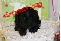 Cavapoo Puppies for sale in Hannibal, MO 63401, USA. price: NA