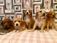 Cavapoo Puppies for sale in 323 New York Ranch Rd, Jackson, CA 95642, USA. price: NA