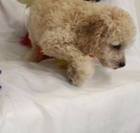 Cavapoo Puppies for sale in Yazoo City, MS 39194, USA. price: NA