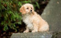 Cavapoo Puppies for sale in Haleiwa, HI 96712, USA. price: NA