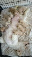 Cavapoo Puppies for sale in California St, San Francisco, CA, USA. price: NA