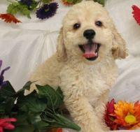 Cavapoo Puppies for sale in Galliano, LA 70354, USA. price: NA