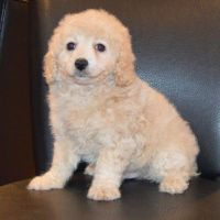 Cavapoo Puppies for sale in Austin, TX, USA. price: NA